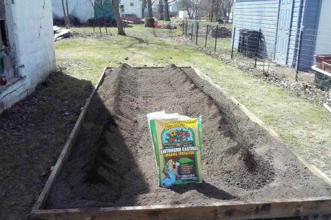 Eric's sweet potato garden