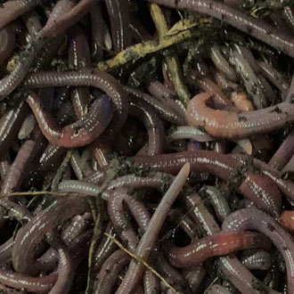 Bait, Composting Worms, and Worm Cocoons