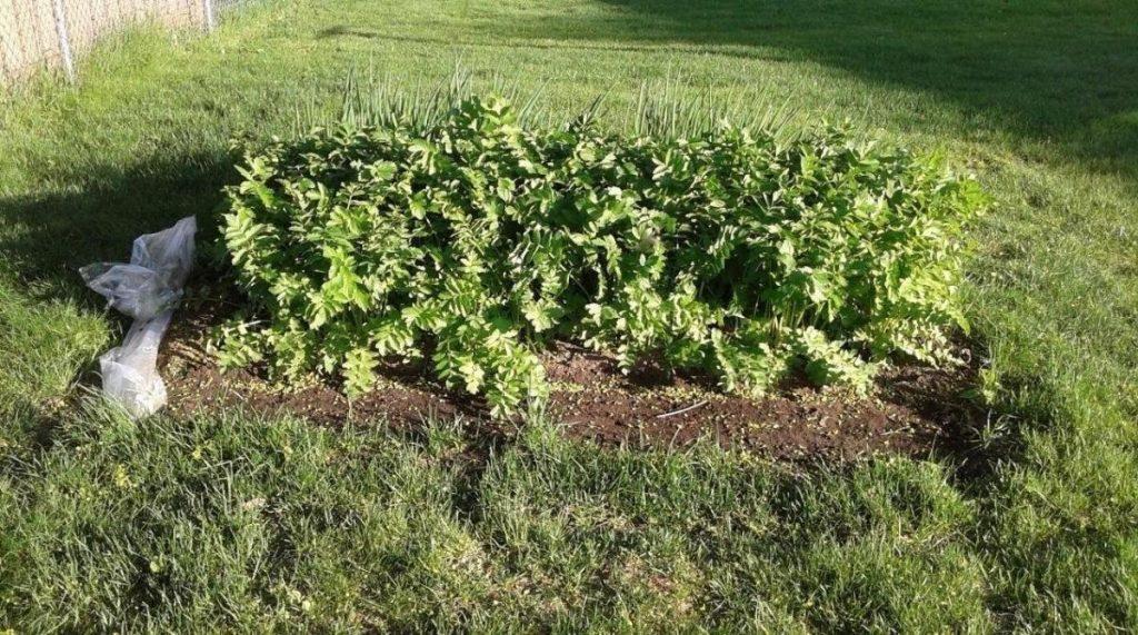 healthy parsips
